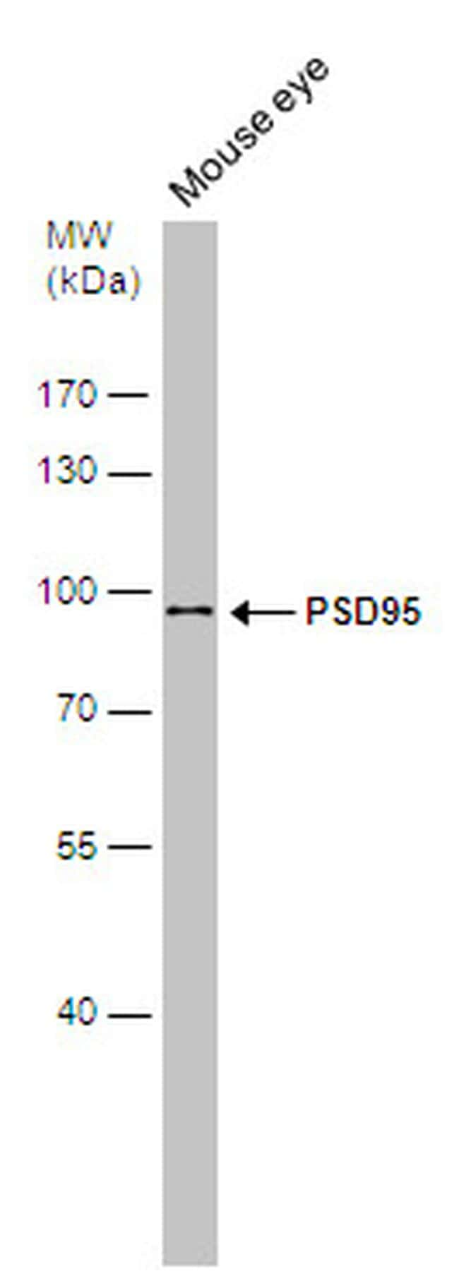 PSD-95 Antibody in Western Blot (WB)