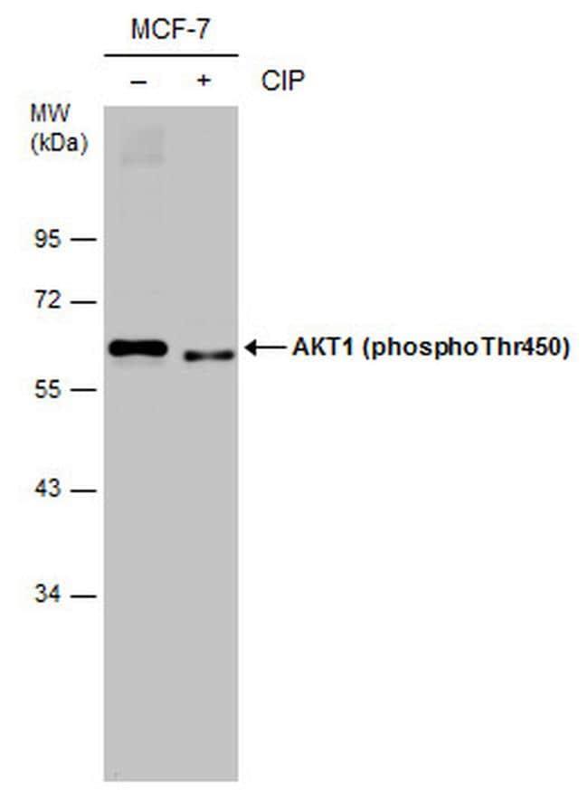 Phospho-AKT1 (Thr450) Antibody in Western Blot (WB)