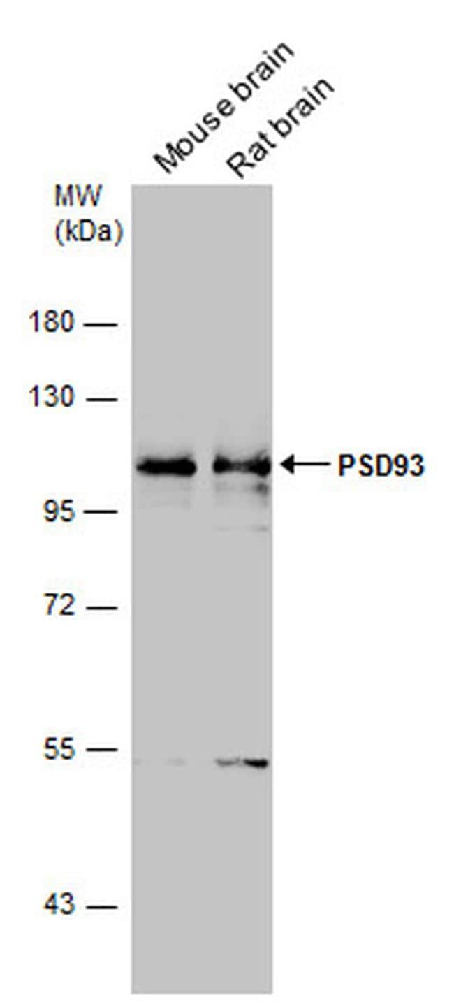 PSD93 Antibody in Western Blot (WB)