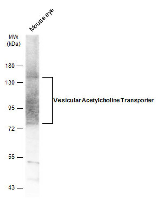VAChT Antibody in Western Blot (WB)