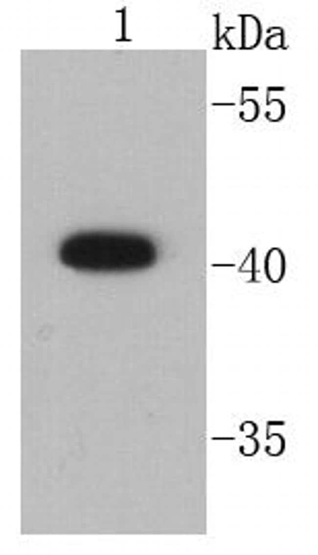 CD9 Antibody in Western Blot (WB)
