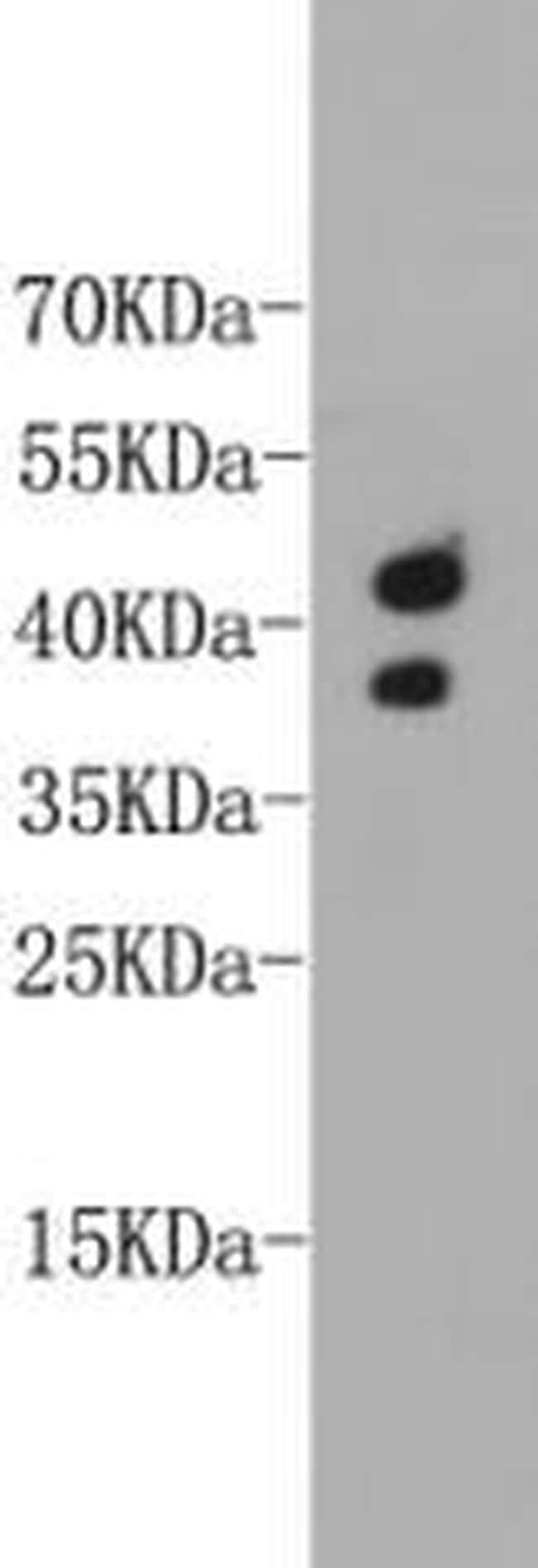 CD24 Antibody in Western Blot (WB)