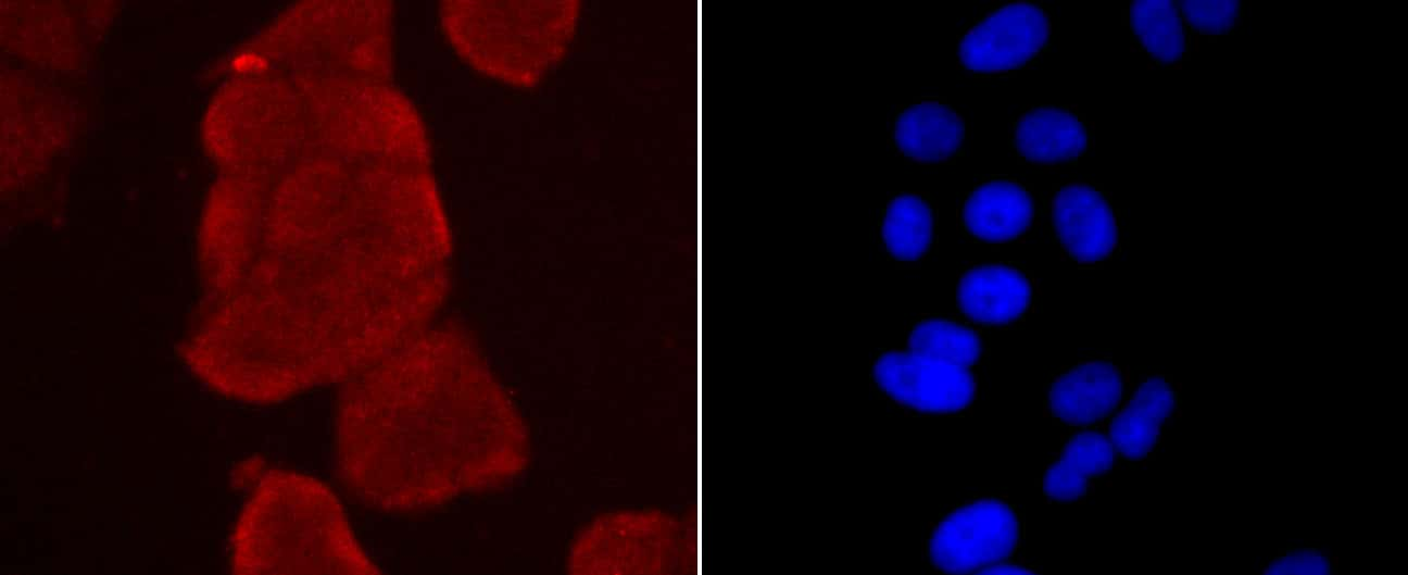 Thioredoxin 1 Antibody in Immunocytochemistry (ICC)
