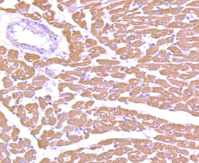 MYL2 Antibody in Immunohistochemistry (Paraffin) (IHC (P))