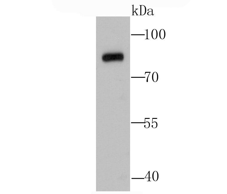 Calpain 1 Antibody in Western Blot (WB)