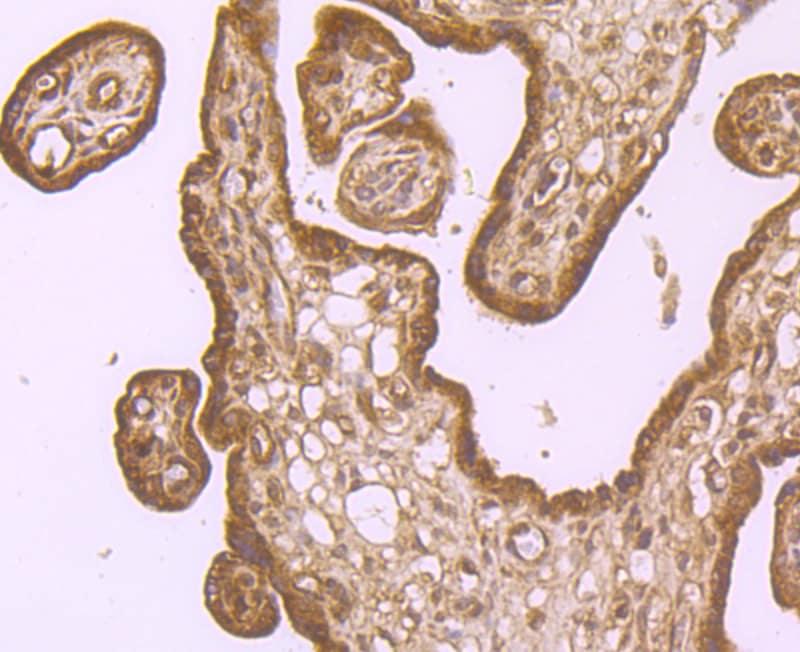 IREB2 Antibody in Immunohistochemistry (Paraffin) (IHC (P))
