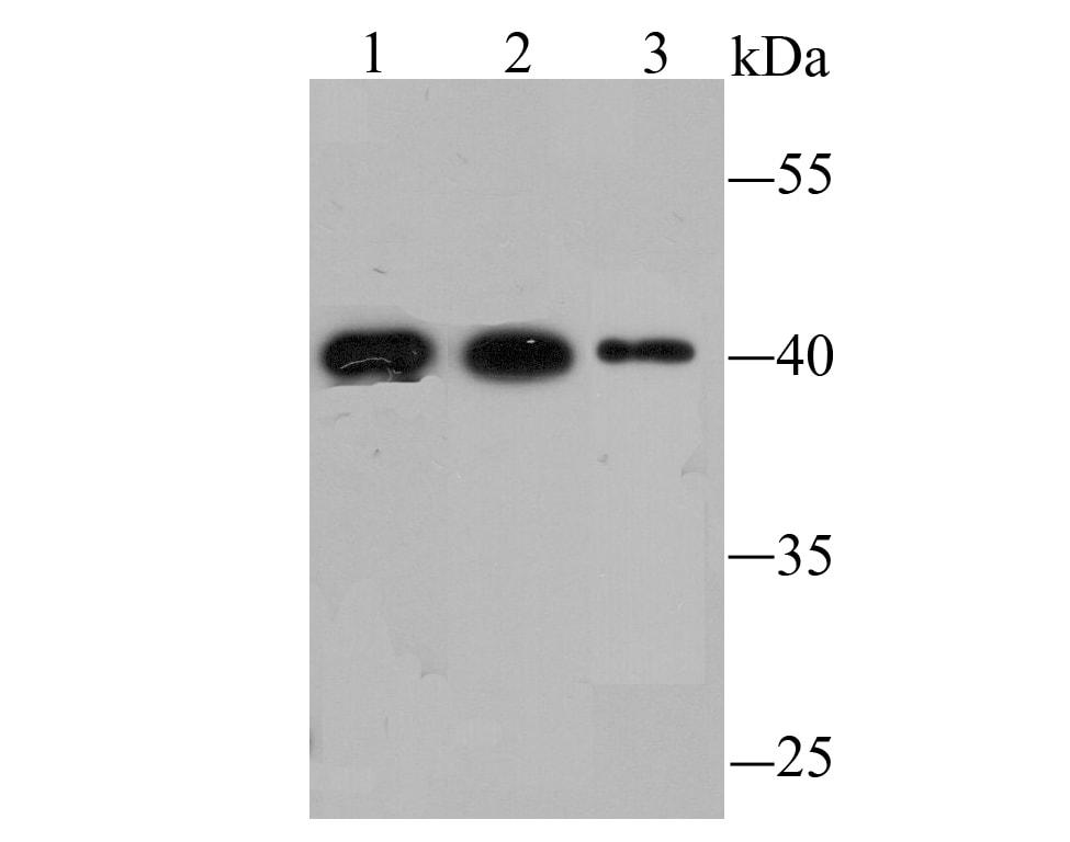 FBXL2 Antibody in Western Blot (WB)