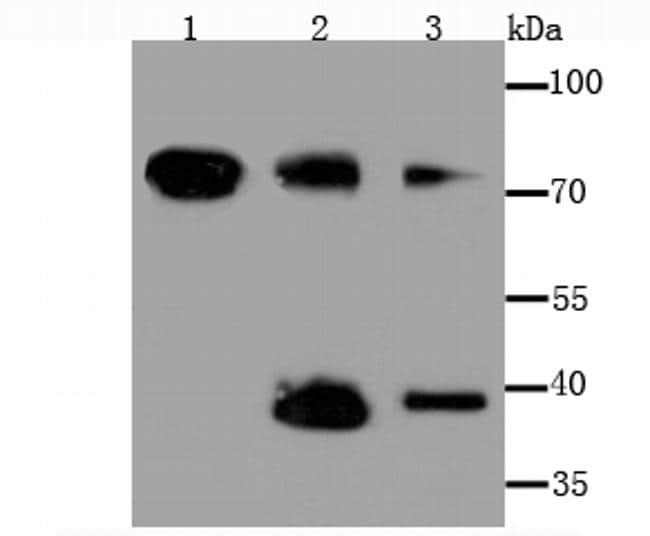 TIM-3 Antibody in Western Blot (WB)