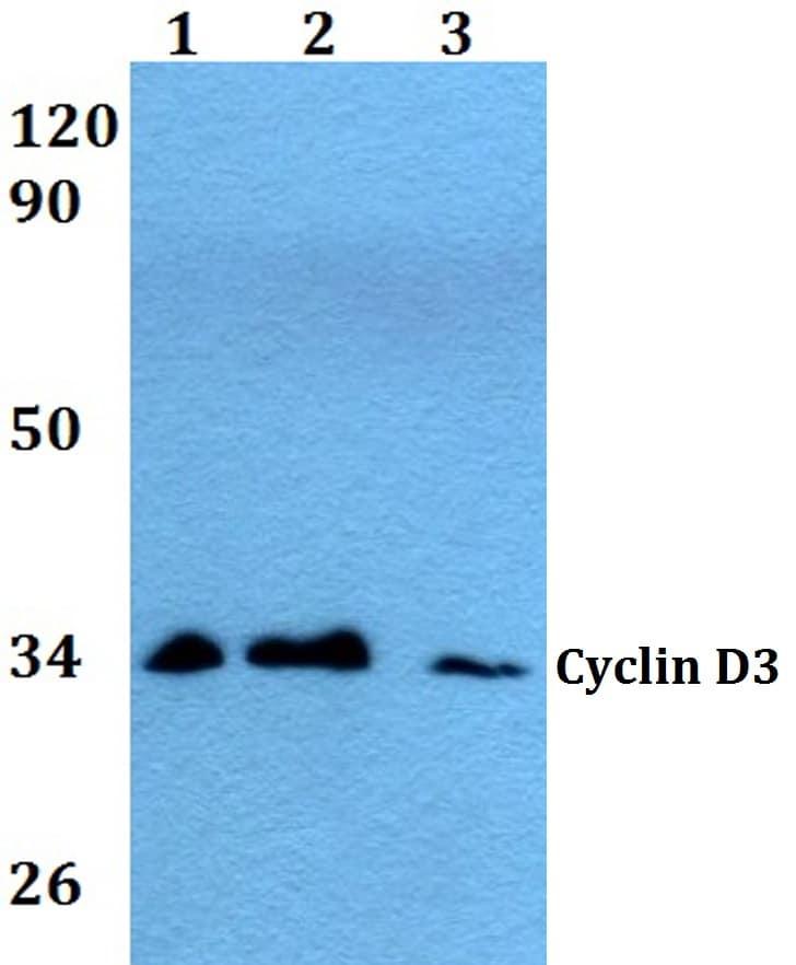 Cyclin D3 Antibody in Western Blot (WB)