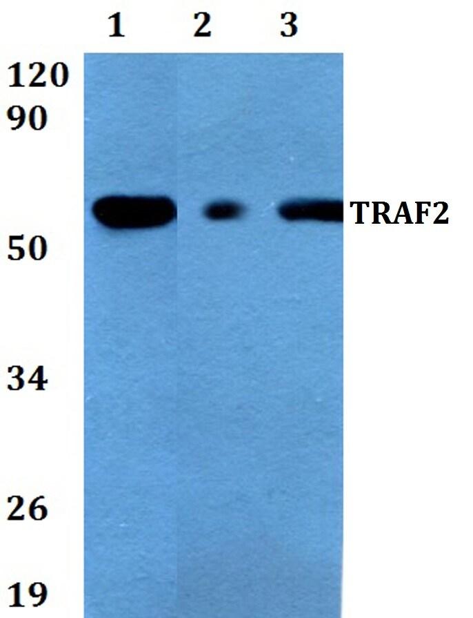 TRAF2 Antibody in Western Blot (WB)