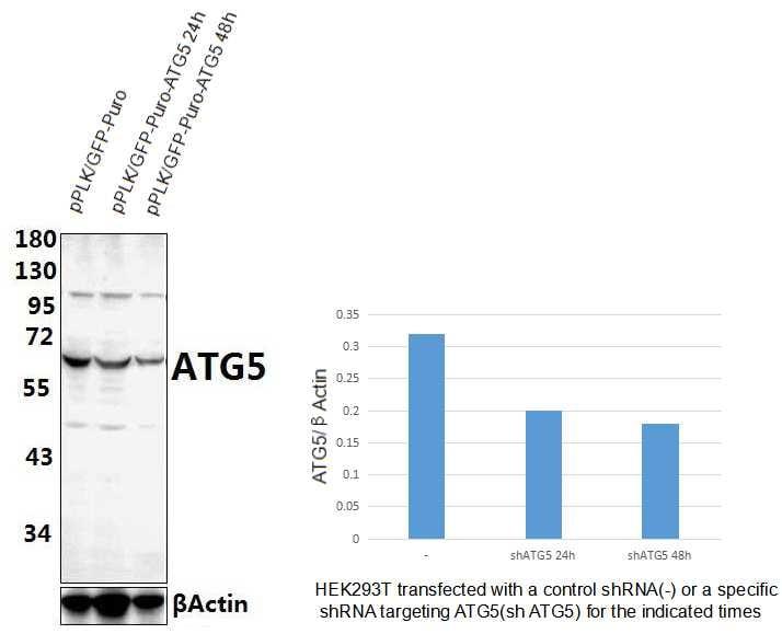 ATG5 Antibody in Western Blot (WB)