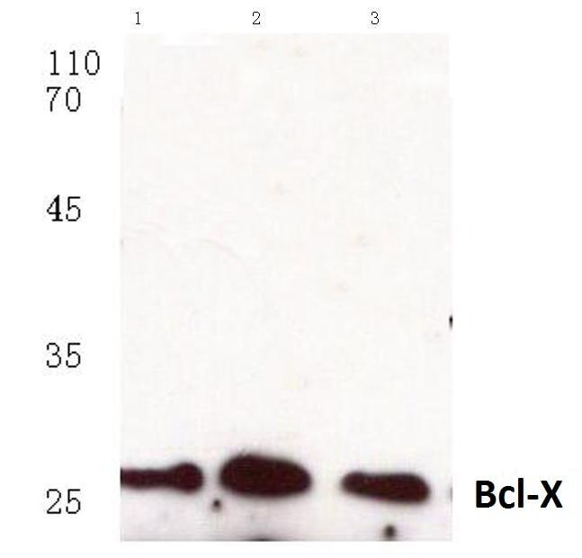 Bcl-X Antibody in Western Blot (WB)
