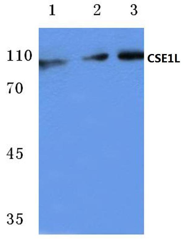 CAS Antibody in Western Blot (WB)