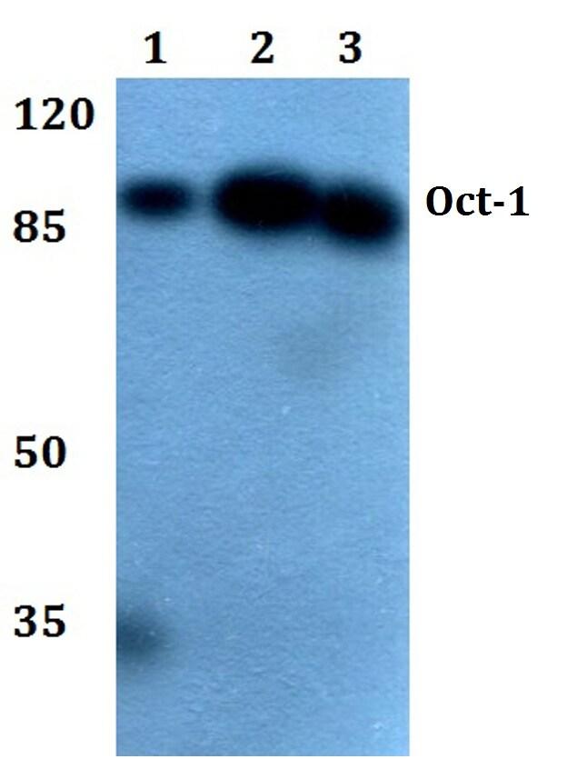 OCT1 (POU2F1) Antibody in Western Blot (WB)