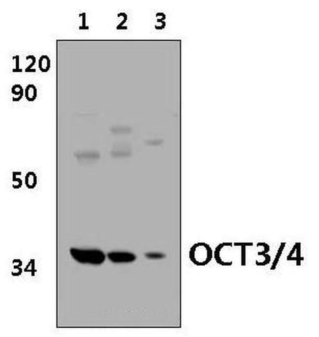OCT3/4 Antibody in Western Blot (WB)
