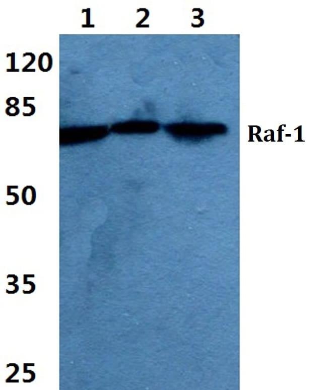 c-Raf Antibody in Western Blot (WB)