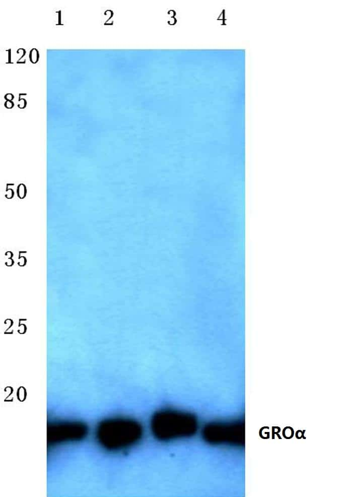CXCL1 Antibody in Western Blot (WB)