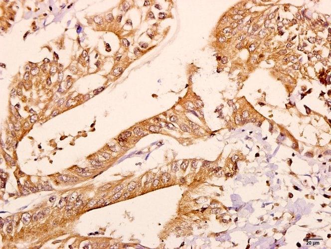 CNPase Antibody in Immunohistochemistry (Paraffin) (IHC (P))
