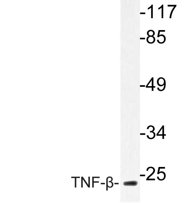 TNF beta Antibody in Western Blot (WB)