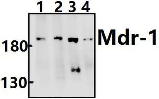 P-Glycoprotein Antibody in Western Blot (WB)