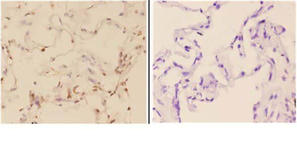 c-Abl Antibody in Immunohistochemistry (Paraffin) (IHC (P))