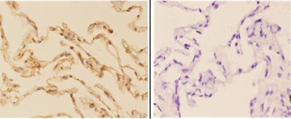 Acetylcholinesterase Antibody in Immunohistochemistry (Paraffin) (IHC (P))