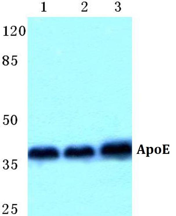 APOE Antibody in Western Blot (WB)