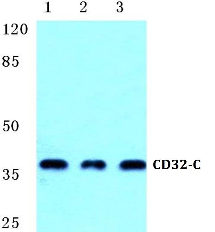 CD32c (FCGR2C) Antibody in Western Blot (WB)