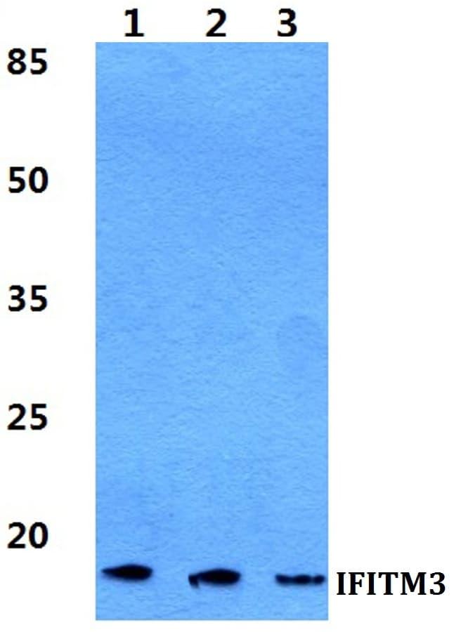 IFITM3 Antibody in Western Blot (WB)