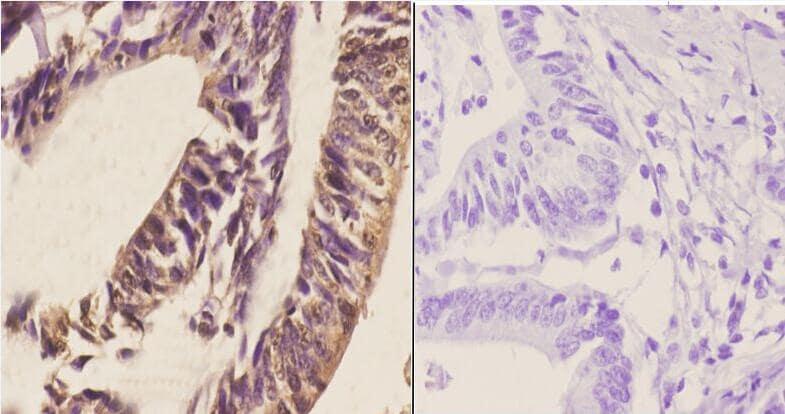 RGS1 Antibody in Immunohistochemistry (Paraffin) (IHC (P))