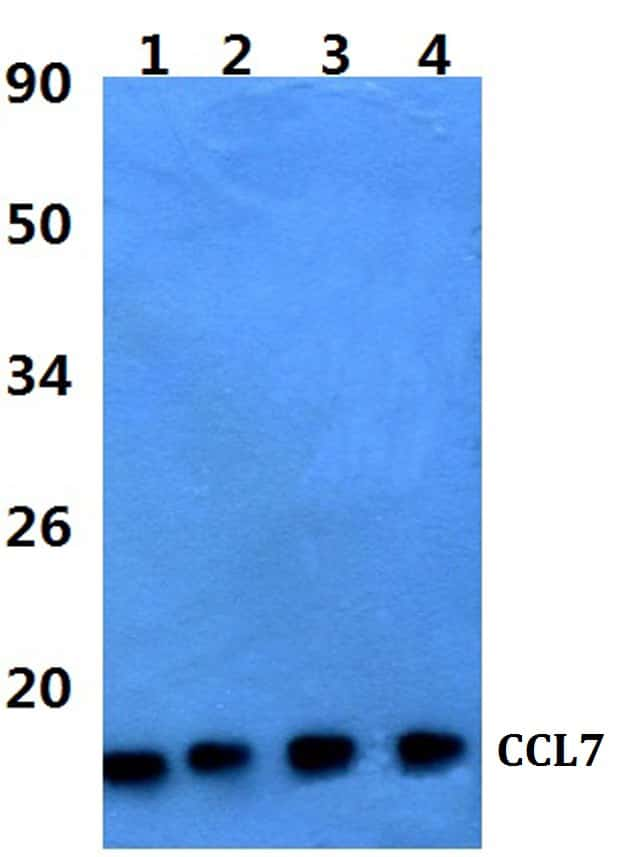 MCP-3 Antibody in Western Blot (WB)