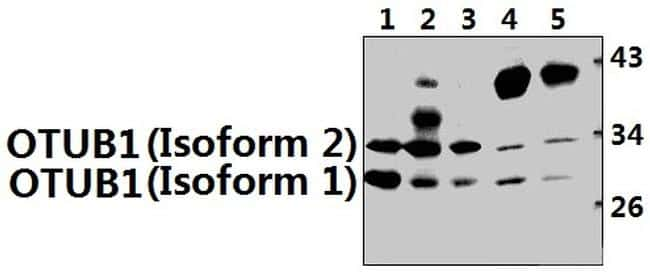 OTUB1 Antibody in Western Blot (WB)