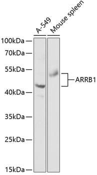 beta Arrestin 1 Antibody in Western Blot (WB)