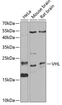 VHL Antibody in Western Blot (WB)