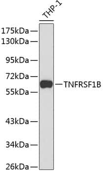 TNFR2 Antibody in Western Blot (WB)