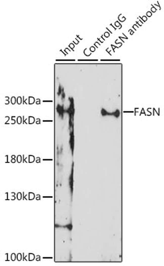 FASN Antibody in Immunoprecipitation (IP)