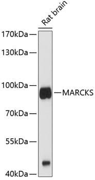 MARCKS Antibody in Western Blot (WB)