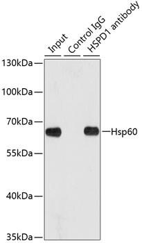 HSP60 Antibody in Immunoprecipitation (IP)