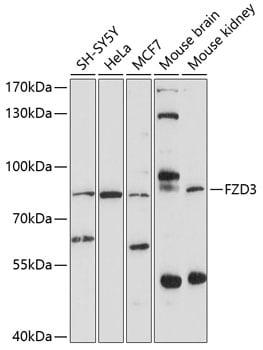 FZD3 Antibody in Western Blot (WB)