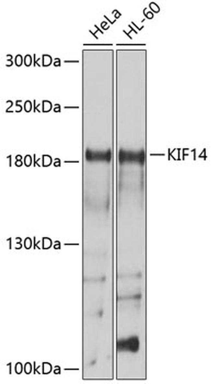 KIF14 Antibody in Western Blot (WB)