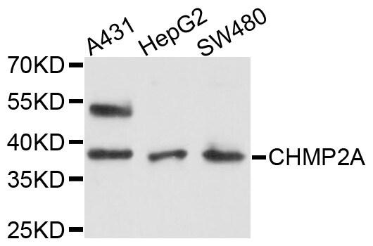 CHMP2A Antibody in Western Blot (WB)