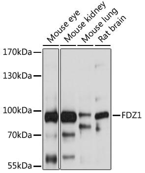 FZD1 Antibody in Western Blot (WB)