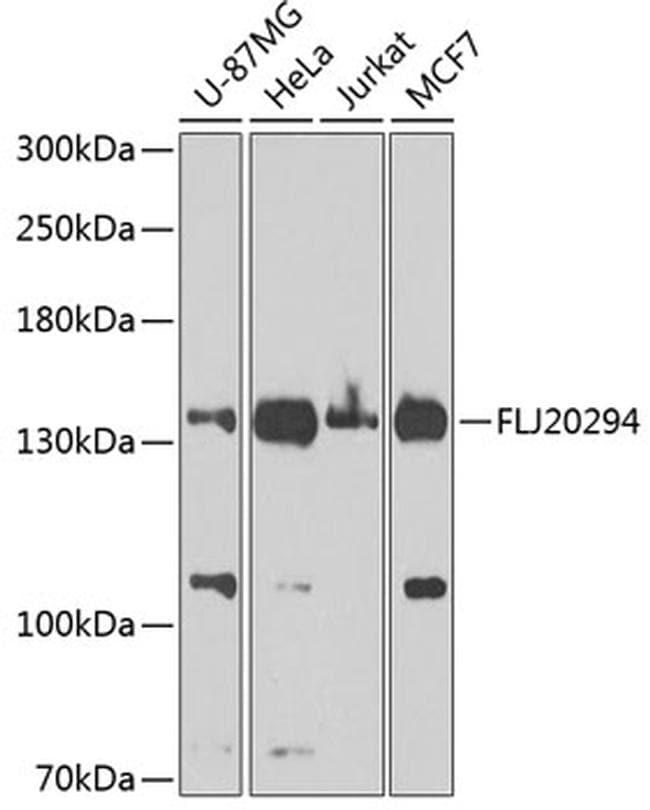 AMBRA1 Antibody in Western Blot (WB)