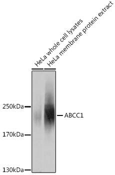 MRP1 Antibody in Western Blot (WB)
