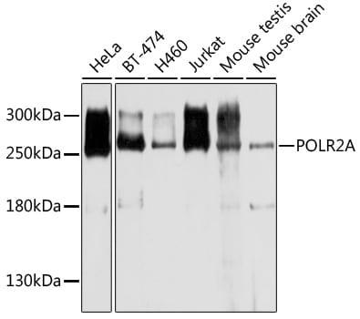 POLR2A Antibody in Western Blot (WB)