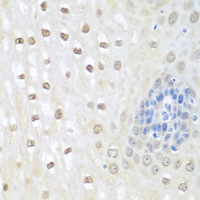 NEDD8 Antibody in Immunohistochemistry (Paraffin) (IHC (P))