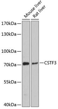 CSTF3 Antibody in Western Blot (WB)