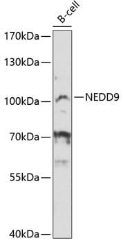 HEF1 Antibody in Western Blot (WB)