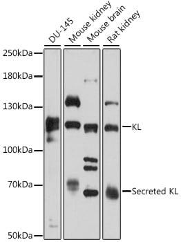 Klotho Antibody in Western Blot (WB)