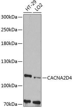 CACNA2D4 Antibody in Western Blot (WB)